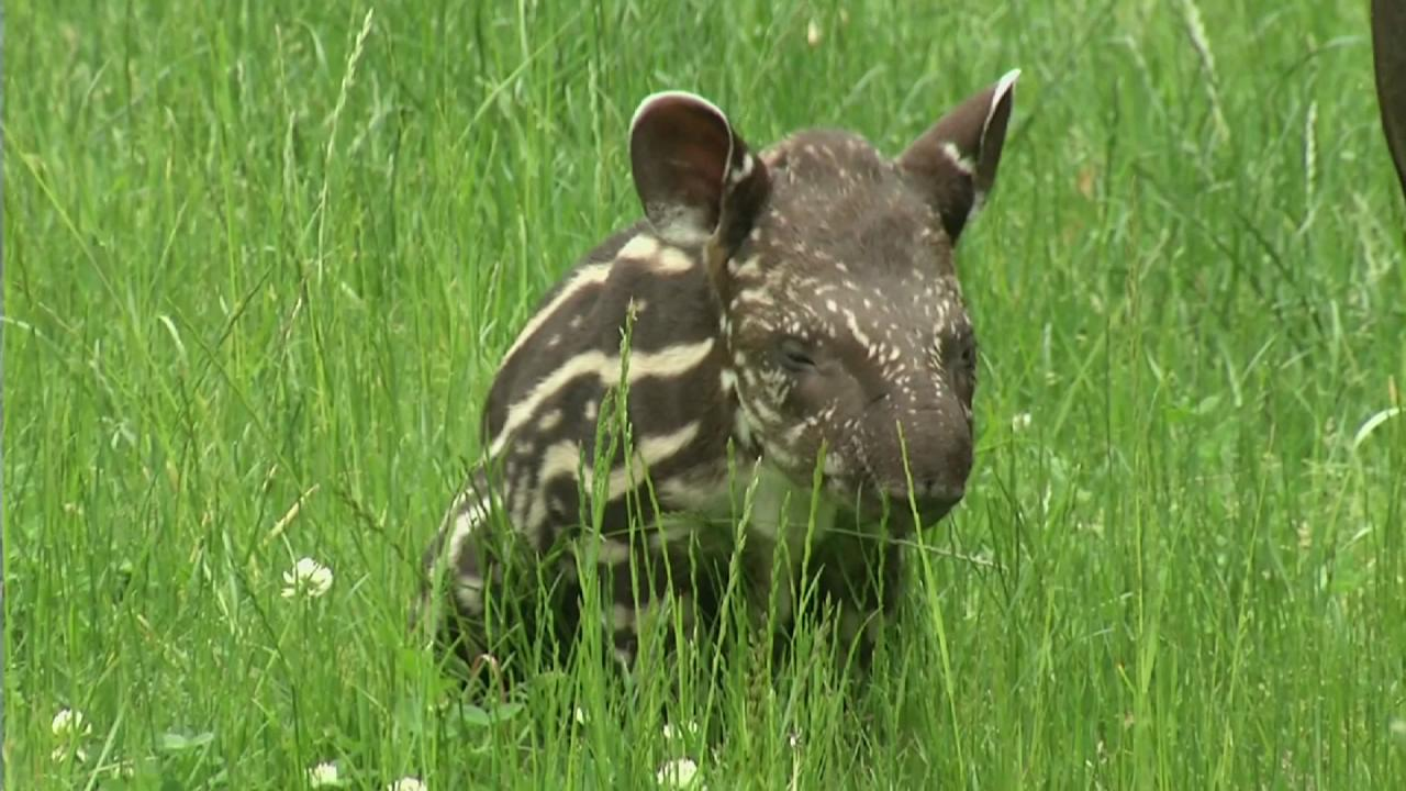 Adorable stripey baby makes zoo debut