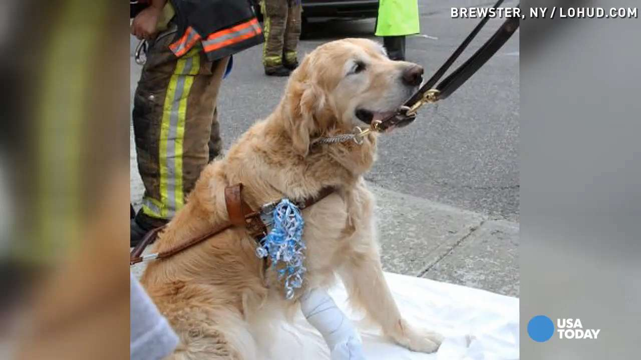 Guide dog leaps in front of bus to protect owner