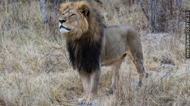 Minnesota dentist wanted For killing Cecil The lion
