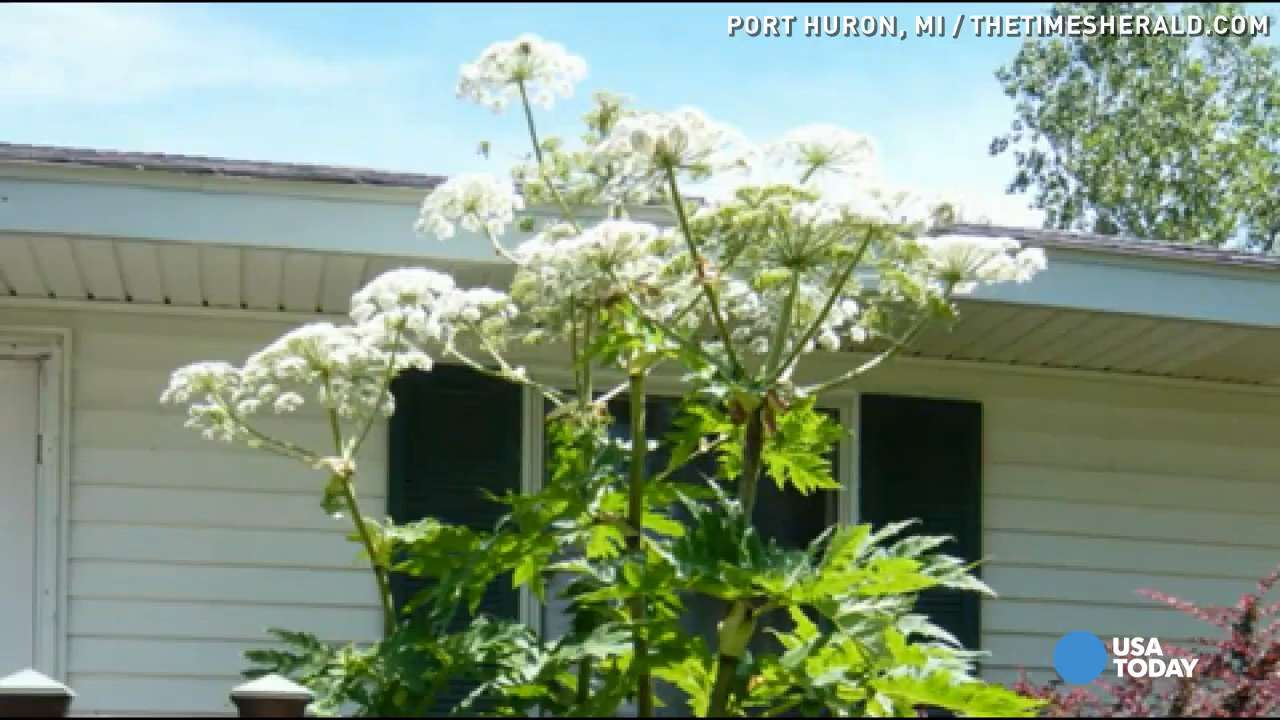 Giant Hogweed Michigan Map.Giant Hogweed What To Know About Weed That Can Cause Burns Blindness