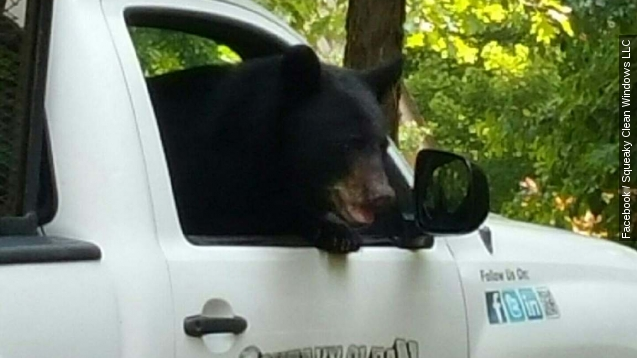 Bear climbs into truck like a boss and drinks grape soda