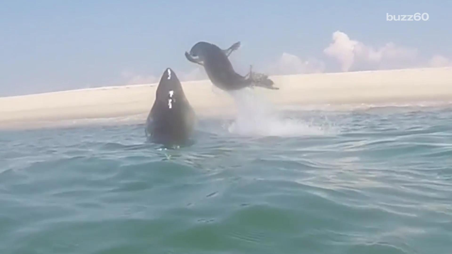 Seal karate-chops shark and swims to safety