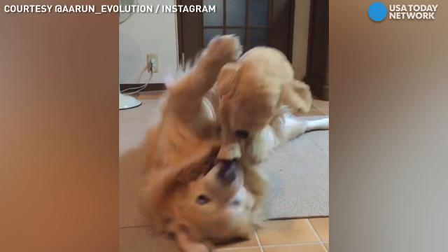 This dog really, really loves his mini-me