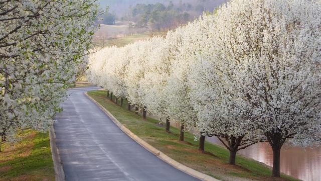 Image result for bradford pear tree