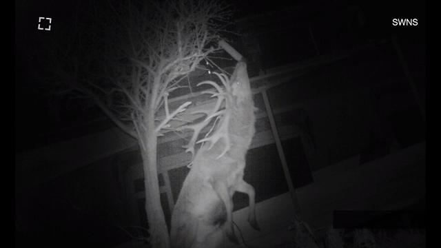 A male deer in Southern England is caught on video putting his antlers to good use.