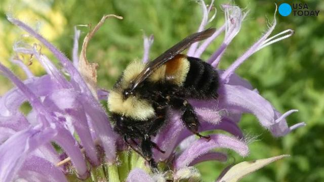 Rusty patched bumblebee officially declared endangered