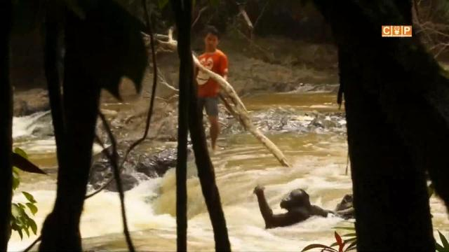 Members of the Centre for Orangutan Protection helped fish an orangutan out of a river in Indonesia.