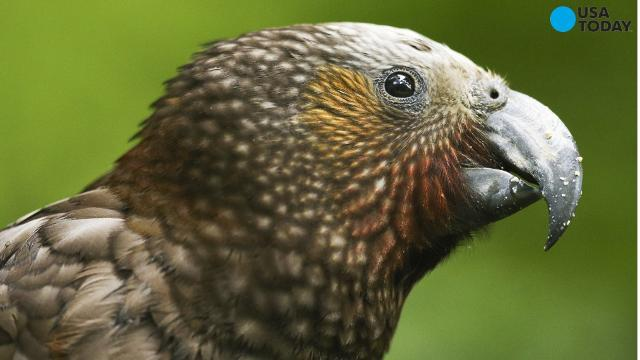 The Kea parrot has a specific call that puts other parrots that hear it in a good mood. The Kea, which is native to New Zealand's mountainous South Island, is the first known non-mammal to show contagious emotion.