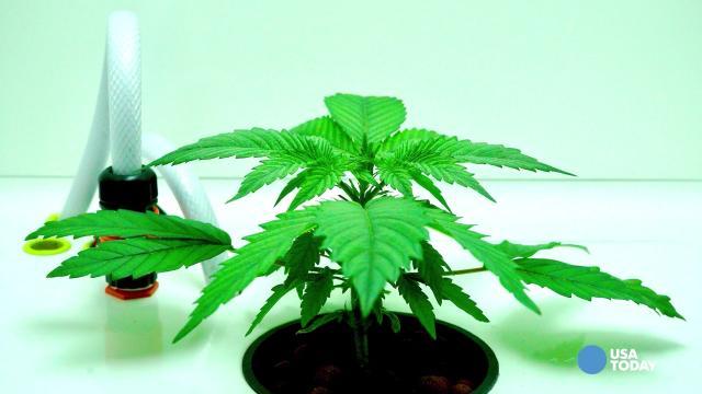 Marijuana equipment start-ups flourish as large rivals avoid legal pitfalls