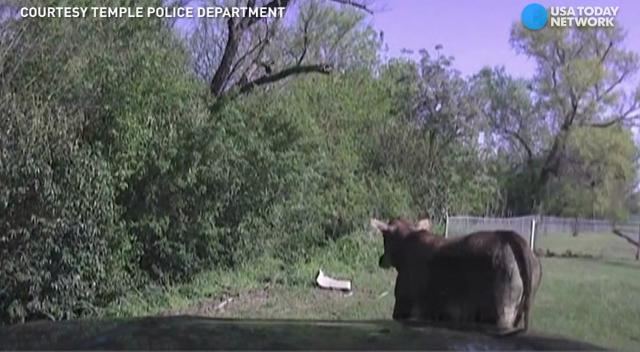 A police offer in Temple, Texas tries to get a stray cow back to its home. Everything seems fine, until the cow charges out the gate and towards the officer.