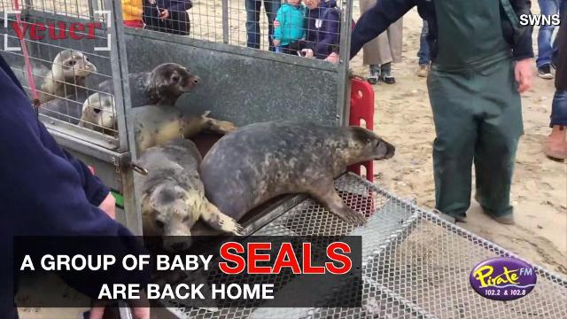 A group of baby seals were released back to the sea after being nursed back to health.