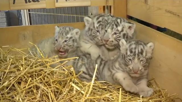 Zookeepers at an Austrian zoo are celebrating the birth of four white tiger cubs. Falco, Toto, Mia and Mautzi were born on March 22nd, and had their public debut on Wednesday. (April 26)