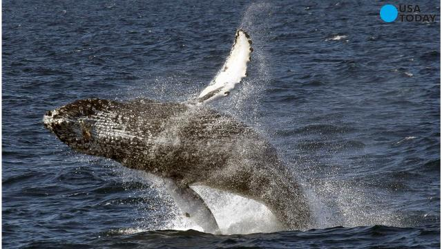 A new study sounds the alarm on whales being struck by boats, ships, and other vessels. It suggests the number of collisions are much higher than you'd think.