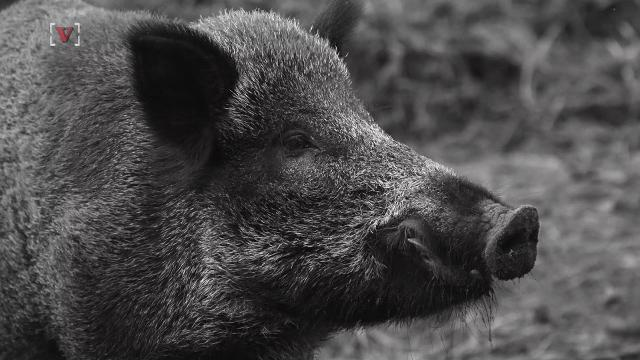 wild boar struck on highway 126 a rarity in ventura county