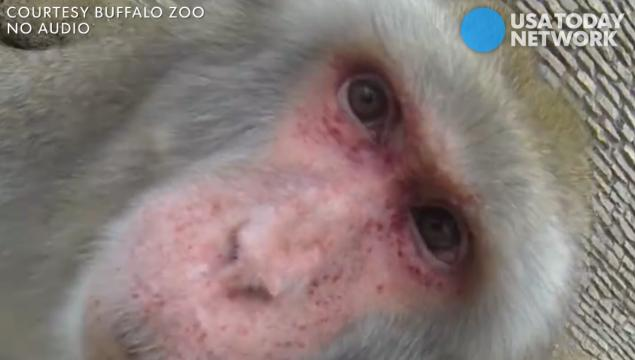 Eric the snow monkey and his granddaughter Kiseki found the GoPro in their home at the Buffalo Zoo, giving us a up-close look at their faces and fun personalities.