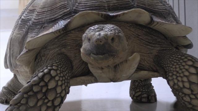 Tortoise run over by car gets shell glued back together