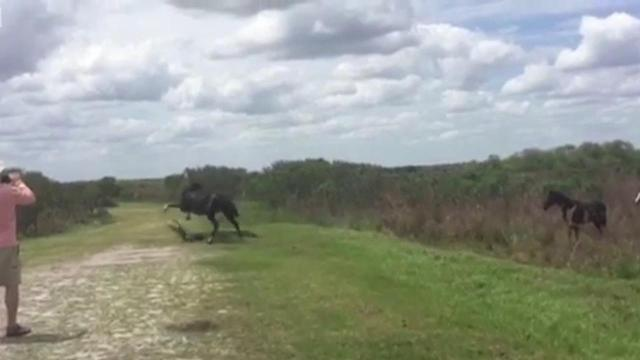 Wild horse goes after gator at Florida state park