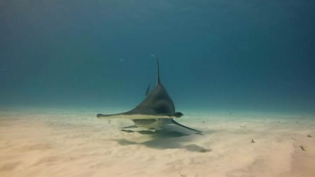 Stunning video of hammerhead sharks swimming off the coast of Bimini in the Bahamas. The sharks come so close to the camera, you can count their teeth!