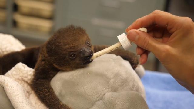 The Memphis Zoo welcomed adorable baby Lua and captured her cuddling with a stuffed animal.