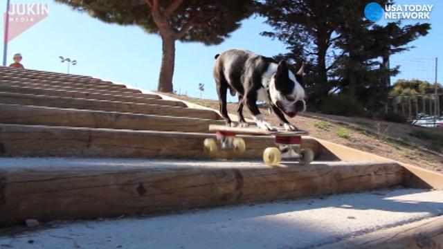 From the half pipe to stairs, this puppy and his skateboard can handle it all!