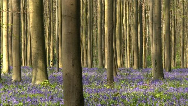Thousands of bluebells blanket Belgium's fairytale forest, but face being trampled by an ever-growing number of tourists.