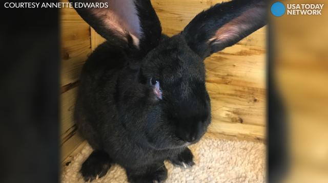 A potentially record-breaking giant rabbit died on a United flight from London to Chicago.