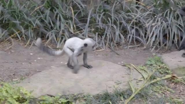 A rare baby monkey made its debut at the Audubon Zoo in New Orleans. The colobus monkey comes from Central Africa. It is considered threatened, but not endangered. The baby is white, but the adults have black and white fur. (April 27)