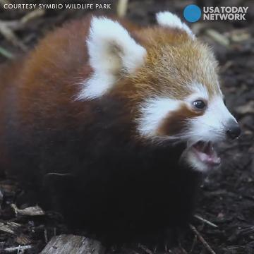Cuddly red panda cubs explore new home