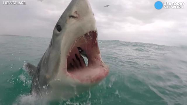 Great white shark jumps out of water, jaws wide open