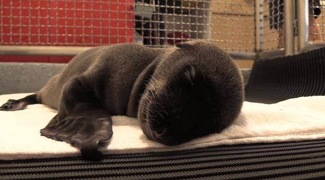 Shortly after SeaWorld San Diego rescued a sick seal, she gave birth to this cutie.
