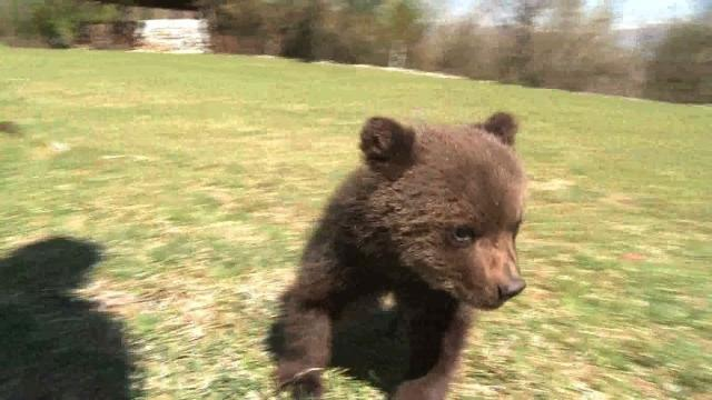 Starving bear cubs found in Montenegro, nurtured back to life