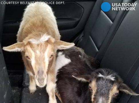 Sgt. Daniel Fitzpatrick spotted the pair of pygmy goats wandering the street in Belfast, Maine. His goat selfies went viral.