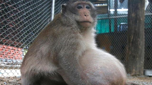 The monkey, nicknamed, 'Uncle Fat,' by locals gained the excess weight after gorging himself on junk food left behind by tourists.