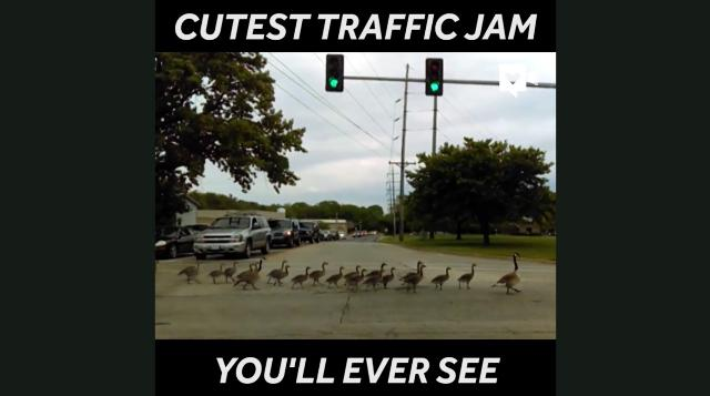 You won't mind the traffic jam when these geese are crossing