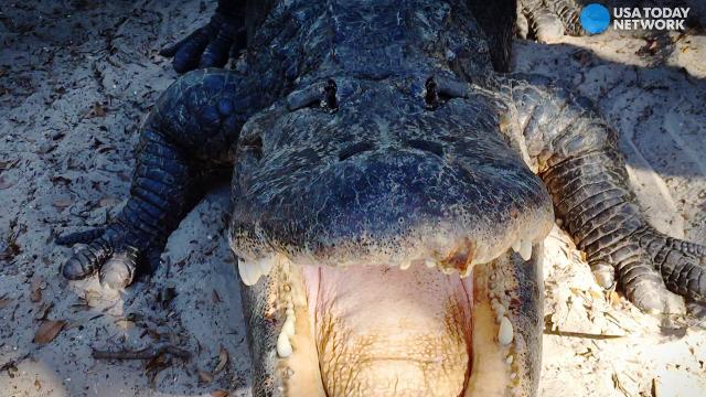 3 tips for avoiding an alligator's snack attack