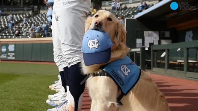 The University of North Carolina's newest baseball player is a service dog named Remington. The 3-year-old golden retriever is a trained service dog.