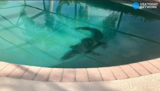 Thrashing alligator gets pulled out of family's pool