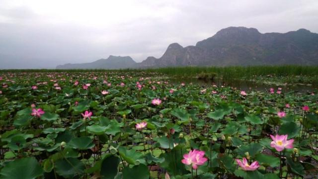After almost a decade of drought, a lake in central Thailand has erupted with pink lotuses, a flower considered sacred in Thai culture.