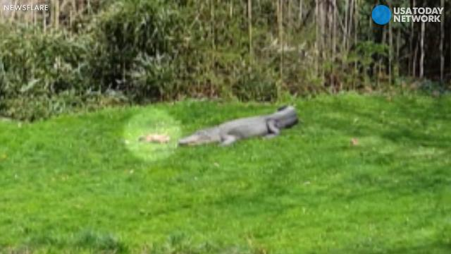 Bold prairie dog taunts alligator, almost becomes lunch
