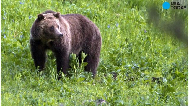 Federal officials on Thursday announced plans to remove grizzly bears' endangered species' status.