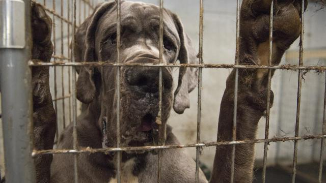 84 Great Danes rescued from alleged mansion-turned-puppy-mill