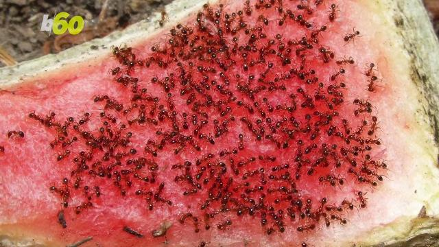Warning: Balls of fire ants may swarm flood waters