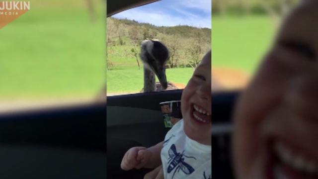 When his family feeds an ostrich out of their car window, this little boy can't get enough.