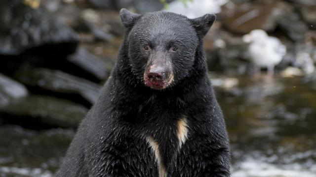 Two people were killed within two days by black bears in Alaska.