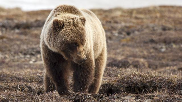 The Interior Department says Yellowstone grizzlies have rebounded enough to come off the endangered species list.