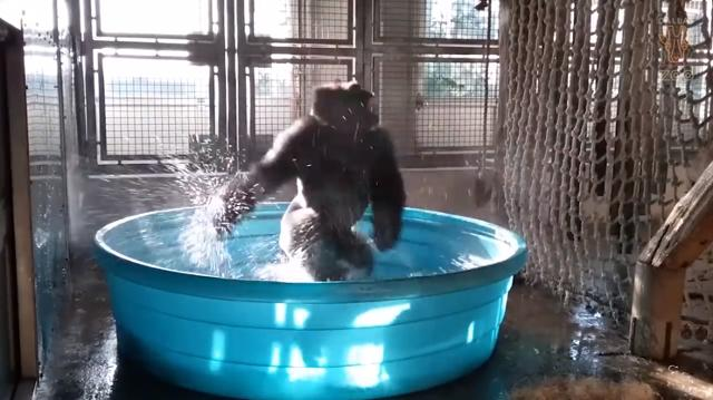 Zola the gorilla loves pool time at the Dallas Zoo. His play behavior looks like all of us come weekends.