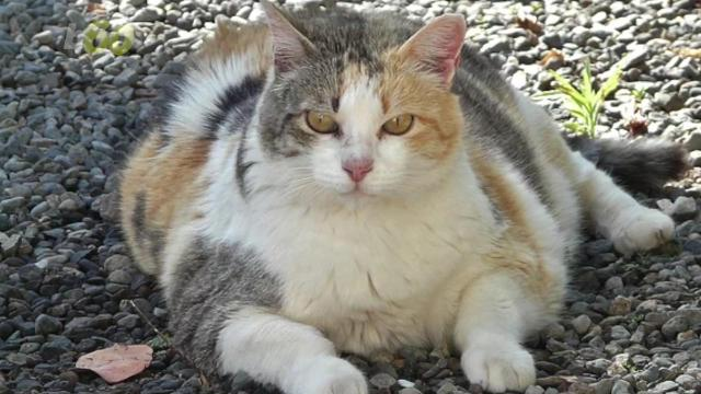 too many fat cats husky hounds 1 in 3 pets are overweight obese