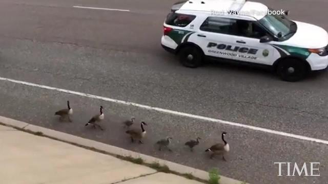 A family of geese got a special police escort while waddling down a highway in Greenwood Village, Colorado.
