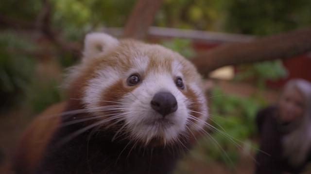 This red panda cub loves a good belly rub