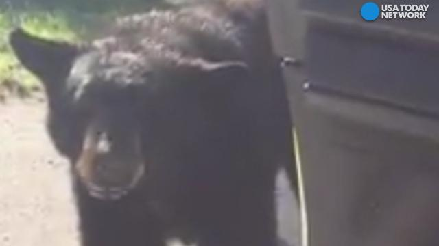 Curious bear ambles to cop car